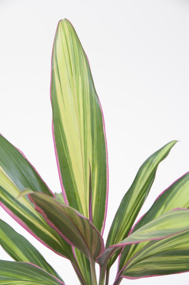 Roze plant De Cordyline Kiwi