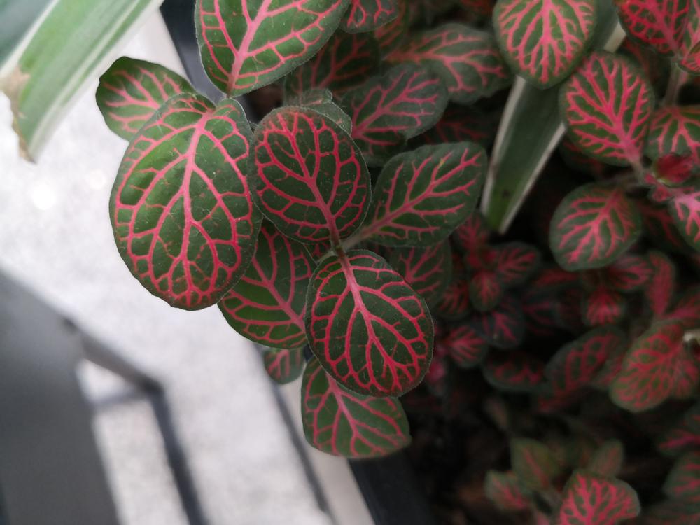 Roze Planten De Fittonia