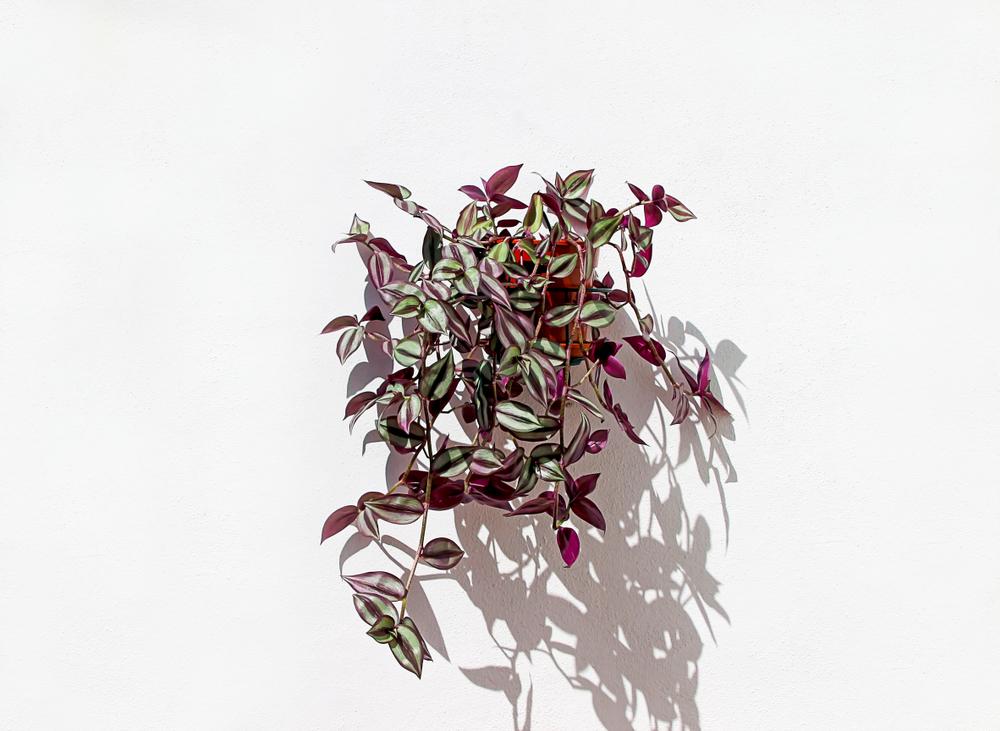 Roze Plant De Tradescantia
